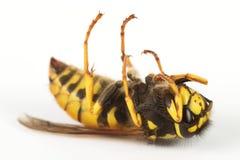 död wasp Arkivbilder