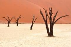 Döda akaciaträd i den Namib öknen, Namibia Royaltyfri Bild