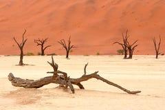 Döda akaciaträd i den Namib öknen, Namibia Arkivfoto