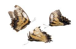 döda fjärilar Fotografering för Bildbyråer