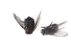 döda flugor Royaltyfri Fotografi