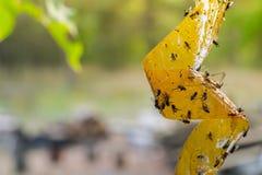 Döda flugor på den självhäftande flugpappern, DOF Royaltyfri Bild