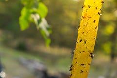 Döda flugor på den självhäftande flugpappern, DOF Royaltyfri Foto