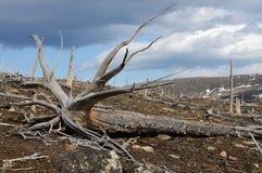 döda gammala trees Arkivfoto