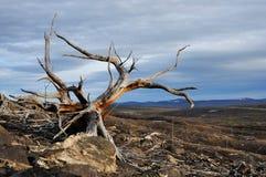 döda gammala trees Royaltyfri Bild