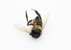 Döda Honey Bee på en vit bakgrund Royaltyfri Bild