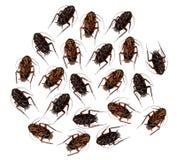 Döda kackerlackor arkivfoton