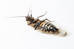 Döda kackerlackor Arkivbild