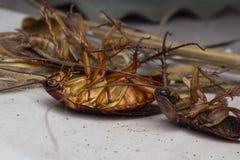 Döda kackerlackor royaltyfri bild