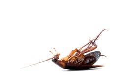Döda kackerlackor royaltyfri foto