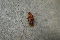 Döda kackerlackor på golv Royaltyfri Foto
