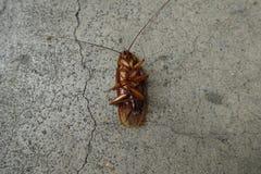 Döda kackerlackor på golv Arkivfoton