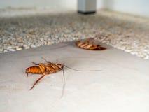 Döda kackerlackor på golvet i hem Royaltyfri Bild