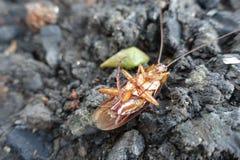 Döda kackerlackor på jordning royaltyfri fotografi