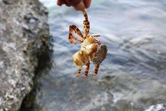 Döda krabbor på vaggar Royaltyfria Foton