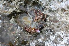 Döda krabbor på vaggar Royaltyfri Bild