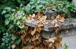 Döda och bosatt murgröna på kyrkogårdminnesmärken Fotografering för Bildbyråer