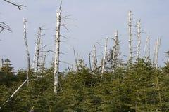 Döda och vid liv alpina träd arkivfoton
