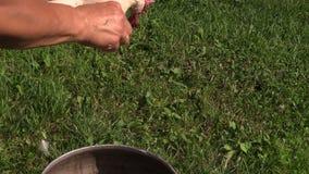 Döda plockad höna i kvinna räcker, befjädrar i svart gammal bunke stock video