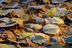 Döda sidor i frostig höstmorgon för frost Arkivfoton