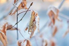 Döda sidor i snön mot inställningssolen en försiktig vintersolnedgång Royaltyfri Bild