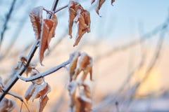 Döda sidor i snön mot inställningssolen en försiktig vintersolnedgång Royaltyfri Fotografi