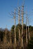 Döda träd Arkivbilder