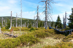 Döda träd - effekt av miljöbelastning arkivbilder