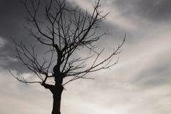 Döda träd i aftonhimlen med moln Arkivbild