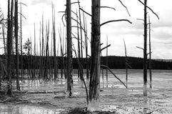 Döda träd i den Yellowstone nationalparken Royaltyfri Foto