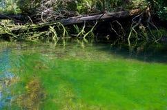 Döda träd ligger i en alger fylld flod Arkivbild