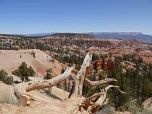 Döda träd och sikt av Bryce Canyon, Utah, USA Arkivfoton