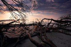 Döda träd på stranden Arkivfoton