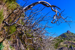 Döda träd som är höga i berg royaltyfria bilder