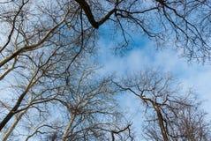 Döda trädfilialer mot blå himmel Arkivfoto