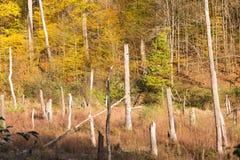 Döda trädstammar i naturligt skogsavverkningområde och bosatta träd arkivfoto