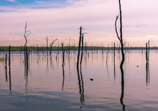 Döda trädstubbar i en sjö Arkivfoton
