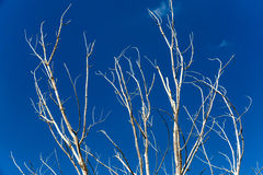 Döda Trees Royaltyfria Bilder