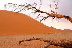 döda trees för acacia Arkivfoton