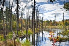 Döda trees i swamp Arkivbilder