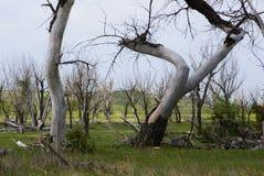 Döda vita träd med krökta stammar i grönt fält i South Dakota fotografering för bildbyråer
