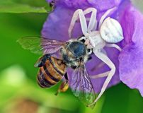 Dödande honungsbi för krabbaspindel royaltyfria foton