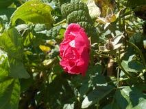 Döden av en ros arkivbild