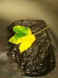Dödlönnlöv för gul gräsplan i ström Höstskeppsbruten på den våta mossiga stenen i kallt suddigt vatten av strömmen royaltyfria foton