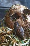 Dödskallemänniska med stor snigelkrypande på framsida- och rötabönaspro arkivbilder