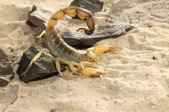 DödStalkerScorpion - Lieurus quinquestriatus Arkivbilder