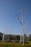 Dödträd på den varma våren Chiang Mai Thailand Royaltyfri Bild