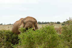Dölja bak träden - afrikanBush elefant Royaltyfria Bilder