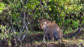 Dölja leoparden Jakt av jägaren mara masai Arkivbilder