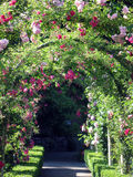 Dörröppning av rosor royaltyfria foton
